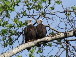 Bald eagles in aspen-pair.jpg