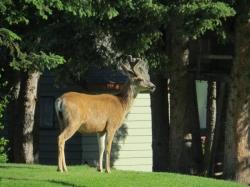 Deer in campsite.jpg