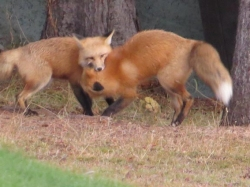 foxes playing.jpg