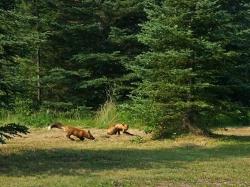 foxes006.jpg