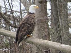 bald eagle over Hathaway Creek.jpg