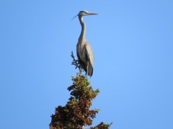 blue heron in tree top.jpg