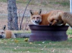 foxes 029.jpg